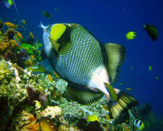 Titan triggerfish - photo by Francis Molina