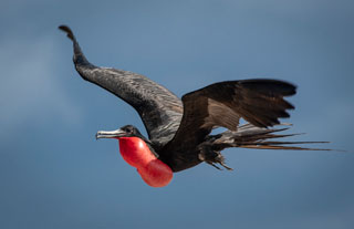A male frigatebird flies overhead at North Seymour Island, Galapagos - photo courtesy of Mike Fitzgerald