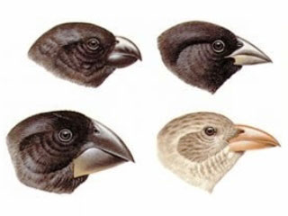 Galapagos finches, one of Darwin's ship research subjects