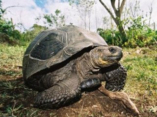 Galapagos Giant Tortoise - photo courtesy of Galapagos Sky