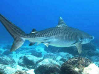 A young tiger shark in the Galapagos
