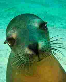 Sea lions are curious and playful creatures underwater - photo courtesy of Aqua Blue Dreams, Galapagos Sky