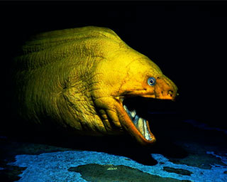 The breathing gape of a giant moray eel can make it look quite fiersome