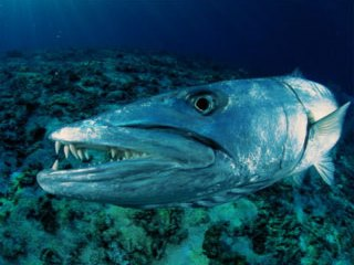 Great barracuda can be seen when diving in southern Thailand