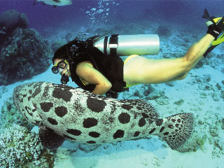 Dive the Great Barrier Reef to see the massive potato grouper of Cod Hole - photo courtesy of Mike Ball
