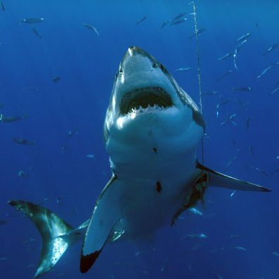 Mexico liveaboard diving at Guadalupe Island with great white sharks - photo courtesy of Seascape