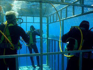 Cage diving in Guadalupe with great white sharks - photo courtesy of Sea Escape