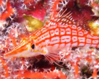 Hawkfish - photo courtesy of Macana