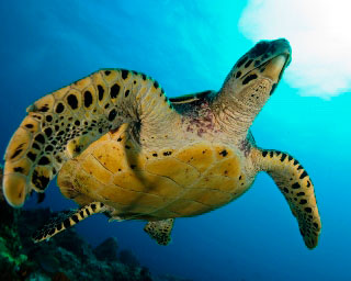 Hawksbill turtles can be seen in Koh Tarutao - photo coutesy of ScubaZoo
