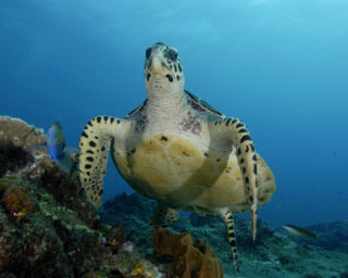 Hawksbill turtles are common in the Similans - photo coutesy of ScubaZoo