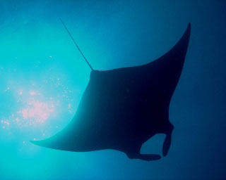 Diving at Hin Daeng and Hin Muang: Manta rays frequent this part of the Thailand's Andaman Sea - photo by Sheldon Hey