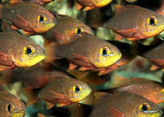 Dive the West Papua Province to see many different species of cardinalfish - photo courtesy of Richard Buxo
