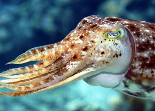 Cuttlefish, Komodo National Park - photo courtesy of friends of Pindito