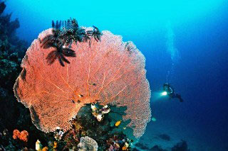 Diving in Flores: Gorgonian sea fan with black crinoids - photo courtesy of Indo Aggressor