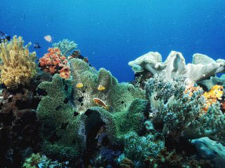 Leather corals in Sulawesi, Indonesia. Photo courtesy of Cary Yanny