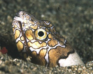 Snake eels can be found night diving in Alor - photo courtesy of Cary Yanny
