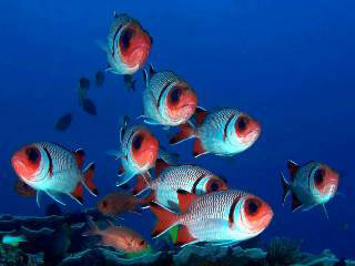 Sumbawa Diving: School of splendid soldierfish - photo courtesy of Ricard Buxo - Ondina