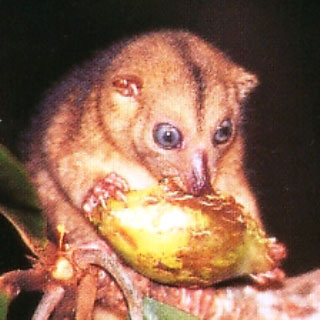 Tarsier - can be found on the Togean Islands. Sulawesi has the most species in the world
