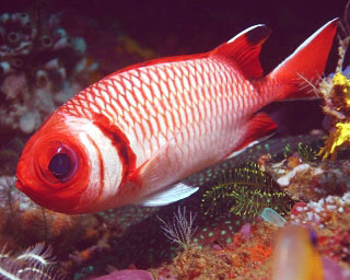 Splendid soldierfish, Raja Ampat - photo courtesy of friends of Pindito