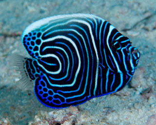 Juvenile Emporer Angelfish are found in Koh Samui - photo coutesy of ScubaZoo