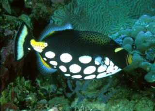 Clown triggerfish in Komodo Island, Indonesia