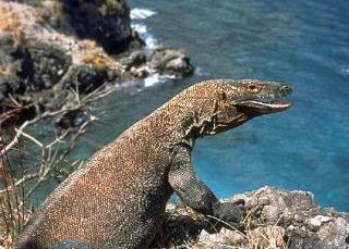 Komodo dragon - Photo by Paul Flaxman