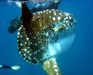 Snorkelling with a sun fish in Komodo - photo courtesy of Enrique Buxo of Ondina