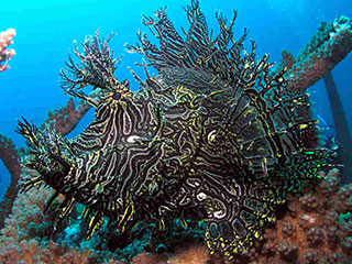 A photographers' favourite, the lacy scorpionfish