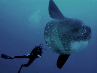 Mola Mola with Lembongan diver - Dive The World Indonesia