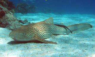 Leopard sharks can be found at some of the Maldive dive sites