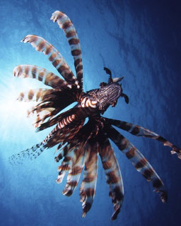 Lionfish are found throughout Phi Phi and Phuket in Thailand - photo courtesy of ScubaZoo
