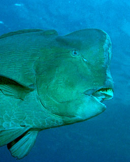 Bumphead parrotfish - photo courtesy of Klaus E. Fiedler