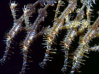 Ornate ghost pipefish are a favourite of macro divers - photo courtesy of ScubaZoo