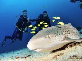 Diving with leopard sharks in the Maldives - photo courtesy of Josef Hochreiter