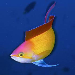 Golden Anthias of the Maldives - photo courtesy of Maldives Aggressor