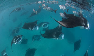 Manta soup in Hanifaru Bay