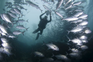 Diving with schools of jacks in the Maldive Islands