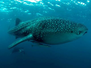 Diving with whale sharks and manta rays in the Maldives - photo courtesy of ScubaZoo