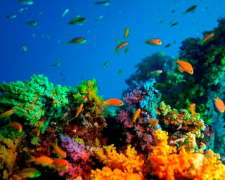 Colourful soft coral scenes. Diving at Baa Atoll in Maldives - photo courtesy of ScubaZoo