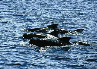 Pilot Whales in Manado - photo courtesy of Cary Yanny