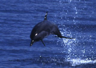 A dolphin at Bunaken National Park, Manado - photo courtesy of Carry Yanny