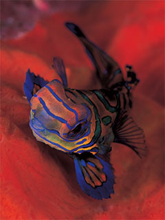 Mandarinfish are just one of the colourful sightings of diving in Indonesia - photo courtesy of Silent Symphony