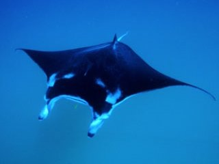 Manta rays are common in the southern Maldives atoll of Meemu - photo courtesy of ScubaZoo