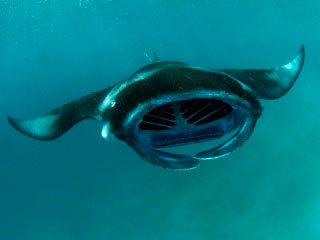 Diving in the Northern Atolls is good for manta ray sightings - photo courtesy of ScubaZoo