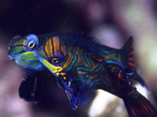 Mandarinfish - photo courtesy of ScubaZoo