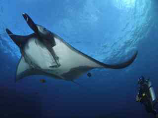 Scuba diving in Mexico with manta rays - image courtesy of the Bonnie Pelnar