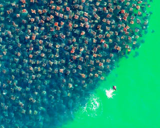 An ariel view of a school of mobula rays in Mexico