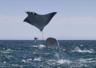 Mobula rays breaching in Baja California - © CPTM /Photo: Ricardo Espinosa-reo.