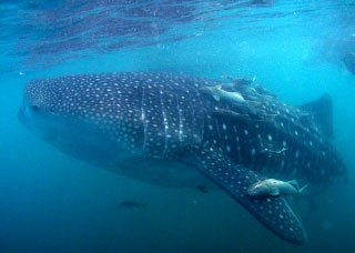 A whale shark in the Mexican Pacific - photo courtesy of Sea Escape