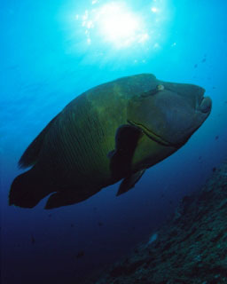 The Napoleon wrasse is frequently found in the Maldives, in the Indian Ocean - photo courtesy of ScubaZoo